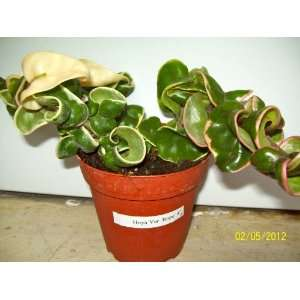 Hoya Variegated Hindu Green Rope Live Plant: Patio, Lawn