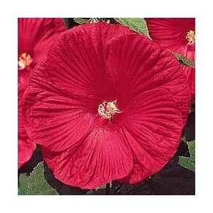 Crimson Wonder Rose Mallow Perennial   Hibiscus: Patio