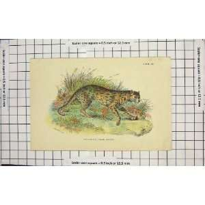 LEOPARD CAT JAVAN VARIETY WILD ANIMAL COLOUR PRINT