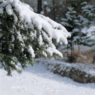 Snow Covered Pine Tree Branches Photographic Print at AllPosters