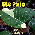 Elephant Ear, Malanga, Taro, Bog Plant, Water Garden, 10 Elephant Ear