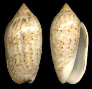 Bestshells Oliva Spicata 38.5 mm Gem.